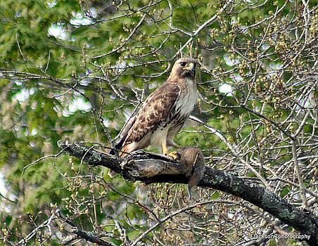 Coopers Hawk by Jonathan Jackson Coe