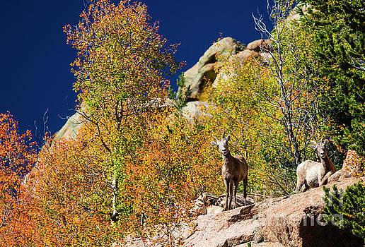 Herd of Bighorn Sheep by Steve Krull