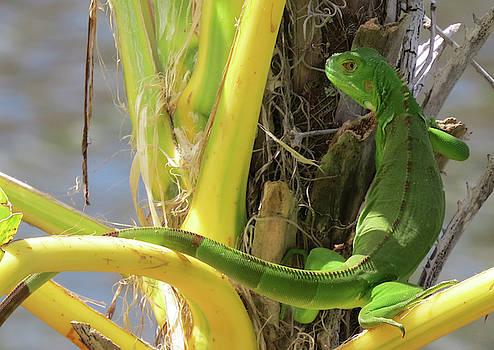 Iguana by Lea Cox