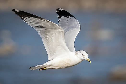 Larus Delawarensis by Gary E Snyder