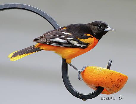 Male Baltimore Oriole by Diane Giurco