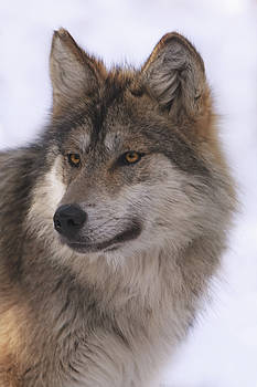 Mexican Grey Wolf by Brian Cross