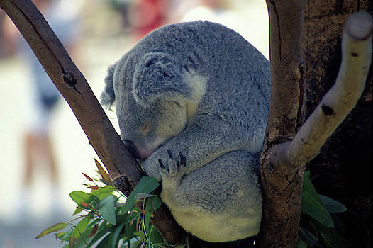 Naptime for a Koala Bear  by Carl Purcell