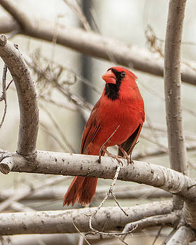 Perched Cardinal by Laurel Powell