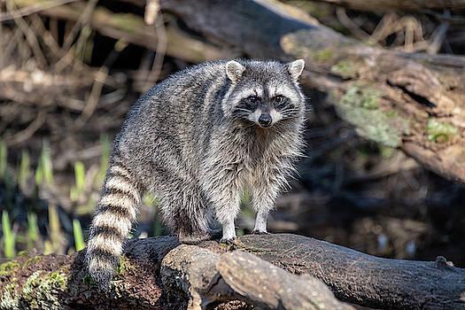 Ross G Strachan - Raccoon