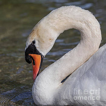 2 is for Swan by Alma Danison