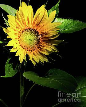Sunflower by Mellissa Ray