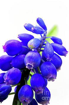 blue bell flower cluster Grape hyacinth by Robert C Paulson Jr