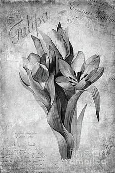 Tulipa by John Edwards