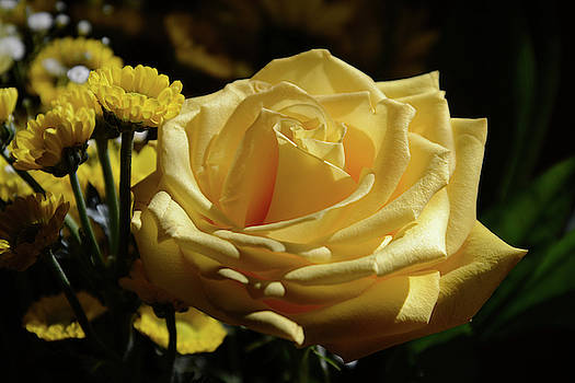 Whispering Peaks Photography - Yellow Rose