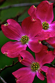 Red Dogwood No 2 by Rick Grisolano Photography LLC