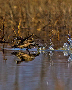 Ring Necked Duck No 2 by Rick Grisolano Photography LLC