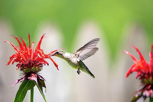 2019 Hummingbirds 2 by David Stasiak