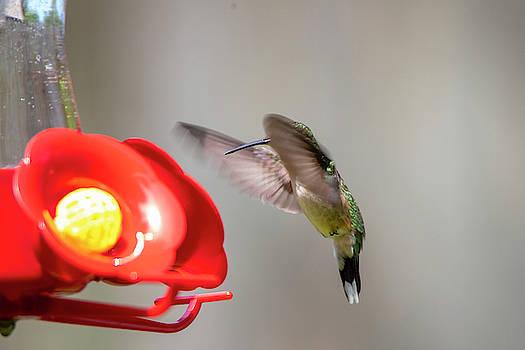 2019 Hummingbirds 4 by David Stasiak