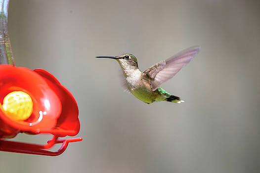 2019 Hummingbirds 5 by David Stasiak