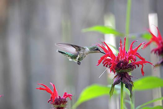 2019 Hummingbirds 6 by David Stasiak