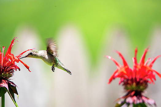 2019 Hummingbirds by David Stasiak