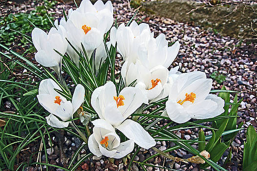 25/03/18  RAMSBOTTOM CHOCOLATE FESTIVAL. White Crocuses. by Lachlan Main