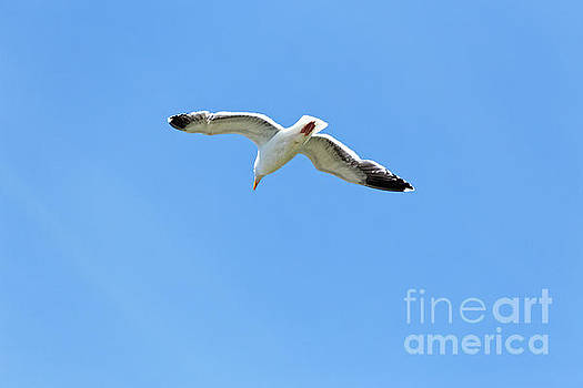 Adult Western gull seagull flying gliding soaring Larus Occident by Robert C Paulson Jr