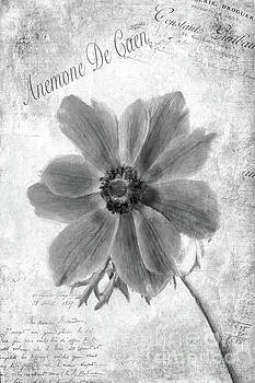 Anemone De Caen by John Edwards