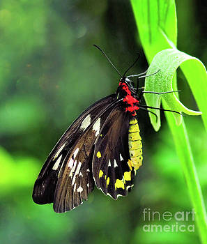 Birdwing Butterfly by Elaine Manley