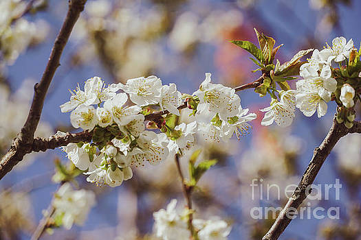 Cherry blossoms by Claudia M Photography