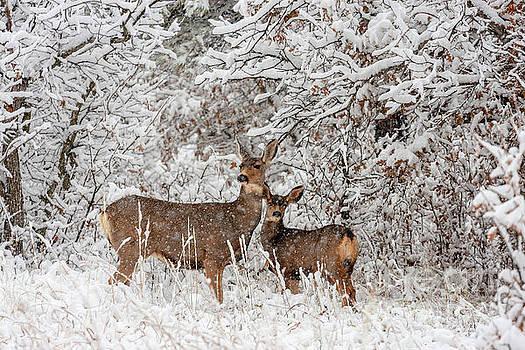 Doe Mule Deer in Snow by Steve Krull
