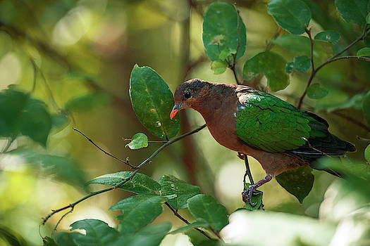 Emerald Ground Dove by Rob D Imagery