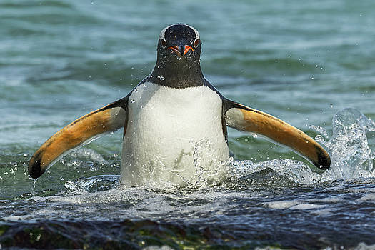 Gentoo Penguin In Surf, Falkland Islands by Adam Jones