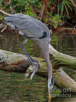 Great Blue Heron by Blair Howell