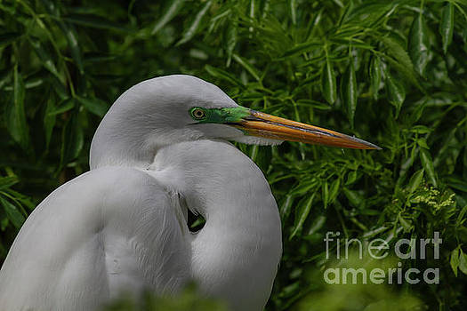 Great Egret by Blair Howell