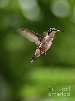 Hovering Ruby-throated Hummingbird by Cindy Treger