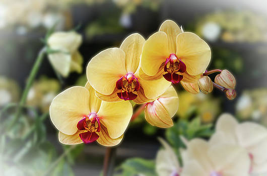 3 Orchids by Silvia Marcoschamer