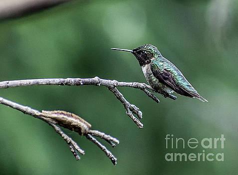 Cindy Treger - Resting Ruby-throated Hummingbird