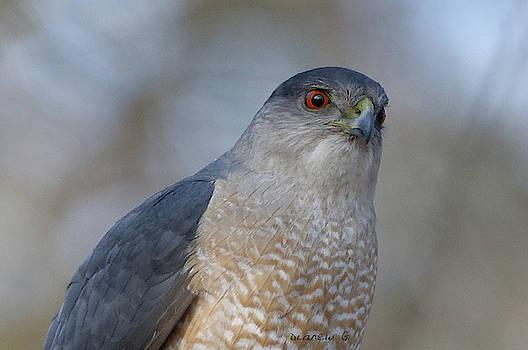 Sharp-shinned Hawk by Diane Giurco