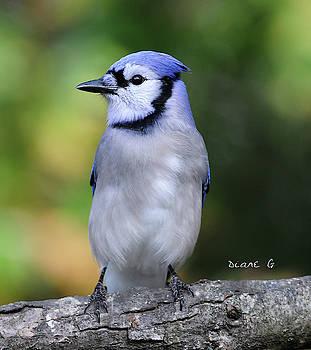 Blue Jay by Diane Giurco
