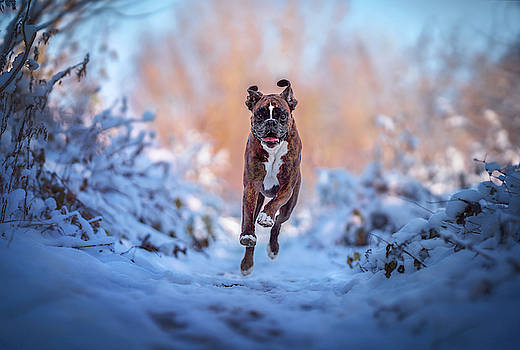 Boxer dog in action by Tamas Szarka