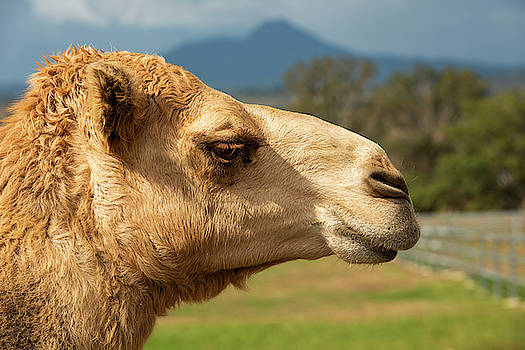 Camel out amongst nature by Rob D Imagery