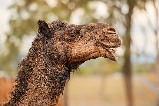 Large beautiful camel by Rob D Imagery
