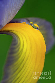 Water drops on iris by Odon Czintos