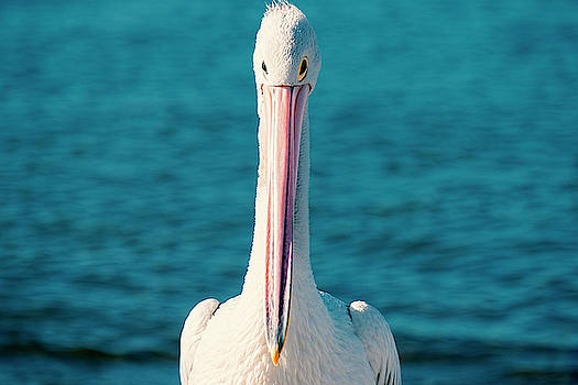 Australian Pelican by Rob D Imagery