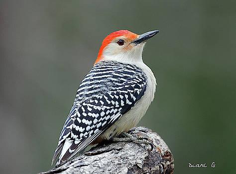 Male Red-bellied Woodpecker by Diane Giurco