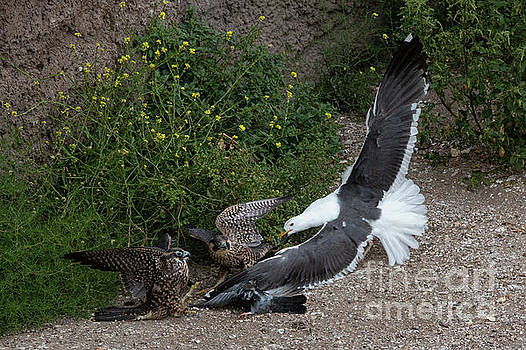 Fight over a Pigeon 6122 by Craig Corwin