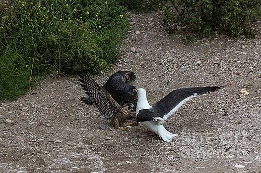 Fight over a Pigeon 6131 by Craig Corwin