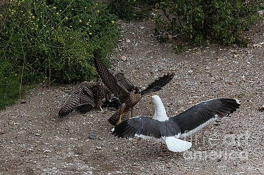 Fight over a Pigeon 6134 by Craig Corwin