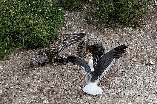 Fight over a Pigeon 6138 by Craig Corwin