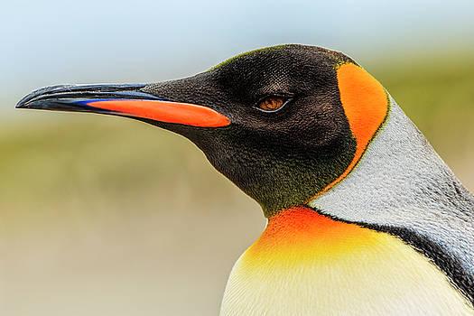 King Penguin, Volunteer Point, East by Adam Jones