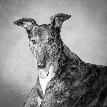 Portrait Of A Greyhound Dog by Panoramic Images