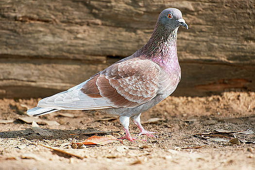 Feral Pigeon by Rob D Imagery