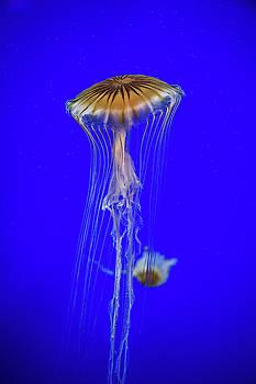 Japanese Jellyfish by Kenny Thomas